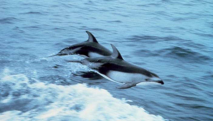 pacific dolphin