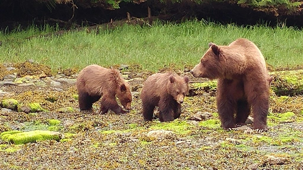 grizzly mom and cubs Khutzeymateen Grizzly Bear Sanctuary