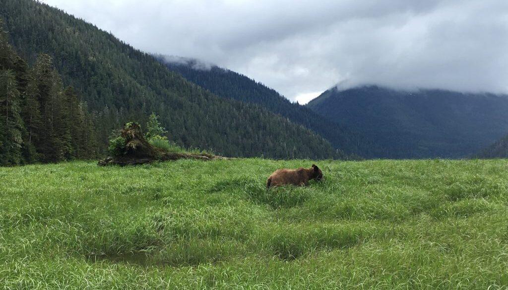 grizzly bear Khutzeymateen